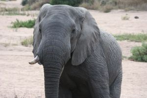 Male Elephant in dry Riverbed