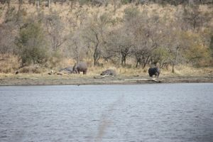 Hippo grazing and sunning themselves out of the wter